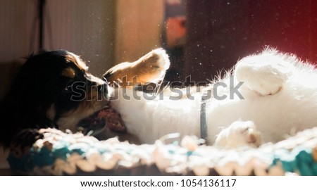 two cavaliers (black and white) playing each other at wooden floor closeup with sun rays in them #1054136117