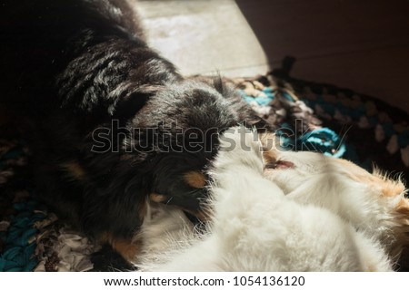 two cavaliers (black and white) playing each other at wooden floor closeup with sun rays in them #1054136120