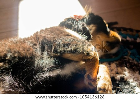two cavaliers (black and white) playing each other at wooden floor closeup with sun rays in them #1054136126