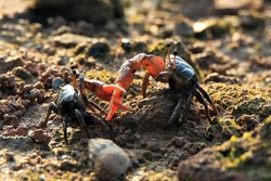 Two crab fights in the late afternoon