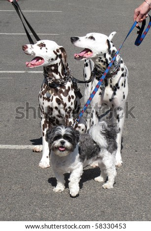 two dalmatians and llaso ahpso dogs