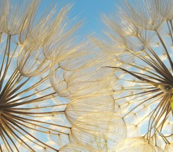 two dandelions seen from the point of view of an insect, where you can see the sky between its filaments, on a spring day at sunset