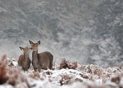 Two deer kissing, wildlife photography