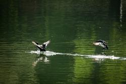 two ducks on the lake preparing to take off, water splashing