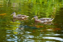Two ducks swim on the green surface of the pond. Several red fish swim in the depths.