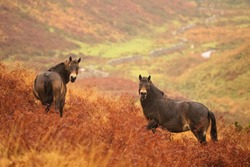 Two Exmoor ponies on hill side in autumn bracken looking at camera with a background of autumn colors, Exmoor, North Devon, England.