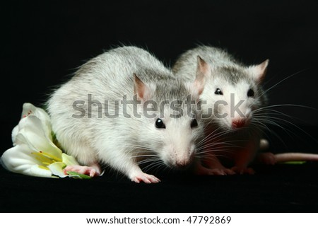 Two fanny rats on the black background