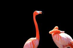 Two Flamingos on black background