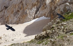 Two flying choughs with rocks on the background