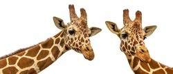 two giraffes on a white background