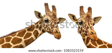 two giraffes on a white background #1083323159