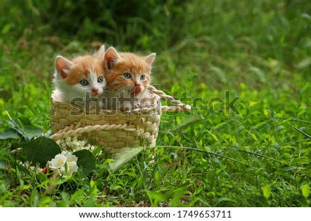 Two little striped red-white kittens in a wicker basket on green grass. A gift for a child, for a beloved woman. Place for inscriptions