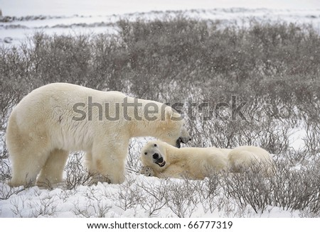 Two polar bears have met and sniff each other. Tundra in snow, blizzard.
