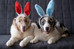 Two small cute Australian shepherd red merle puppy dog wearing bunny ears. easter. Lying on grey sofa couch. Blue eyes. Brown eyes. High quality photo