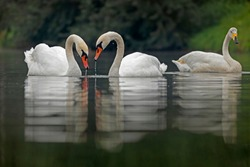 Two species of swans mute swan (Cygnus olor) and whooper swan (Cygnus cygnus) swim on the water. The mute swan (Cygnus olor) is a species of swan and a member of the waterfowl family Anatidae.