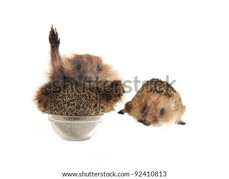 two standing hedgehog on a white background