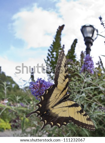 two-tailed Tiger Swallowtail, Papilio multicaudata  butterfly in Central Park in August