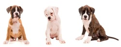 3 types of boxer puppies isolated over a white background