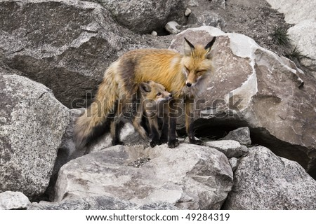 """""""Under Mom's Watch"""" - A red fox kit is under mom's protection and watchful eye."""