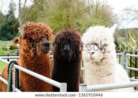 Unedited picture of three Alpaca