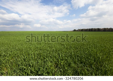 unripe green grass growing on agricultural field #324780206