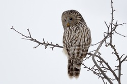 Ural owl in natural habitat (strix uralensis)