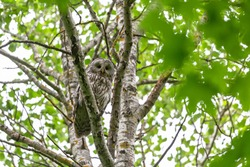Ural owl (Strix uralensis) in the natural ecosystem of life. The Ural owl (Strix uralensis) is a fairly large nocturnal owl family Strigidae.
