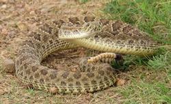 venomous prairie rattlesnake on the trail in pawnee national grassland in northeastern colorado near greeley