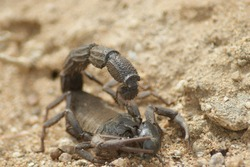 venomous scorpion dispatches prey with stinger