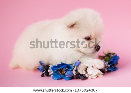 very cute white little puppy pomeranian on flowers on a pink background #1375924307