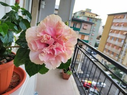 very nice view of pink flower of ibiscus
