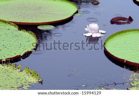 """""""victoria regia"""" - Amazon giant water lillies"""