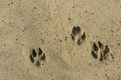 View from above of dog paw tracks marked in the sand