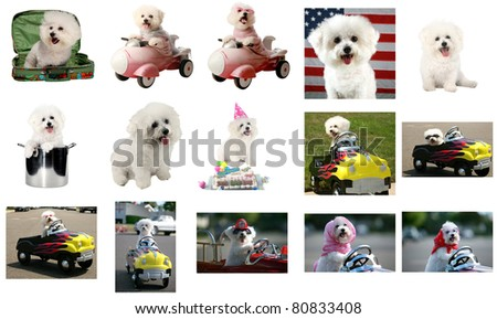 15 views of Fifi the Bichon Frise. All images are 800 pixels each at the long end. The perfect image for all Fifi's friends and fans around the world. She may be gone but she is not forgotten.