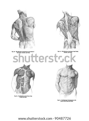 human muscle print out – citybeauty, Muscles