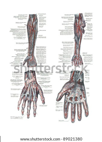 4 Views of the human hand and arm  from  An atlas of human anatomy:  Carl Toldt - 1904
