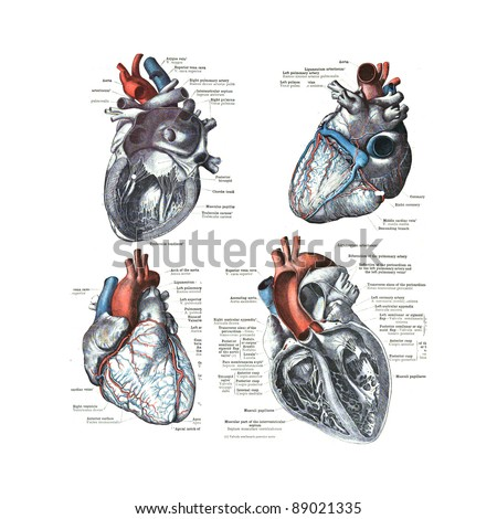 4 views of the human heart ...