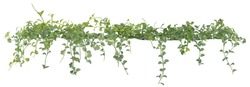 Vine leaves, ivy plant isolated on white background, clipping path