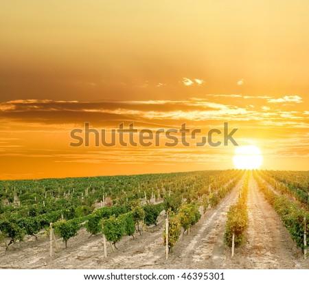 vineyard at the sunset