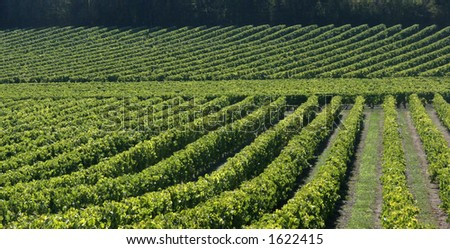Vineyard in France #3