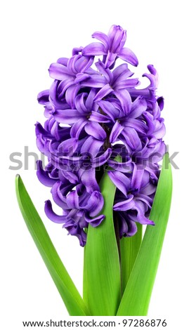 violet flowers(hyacinth) on white close up