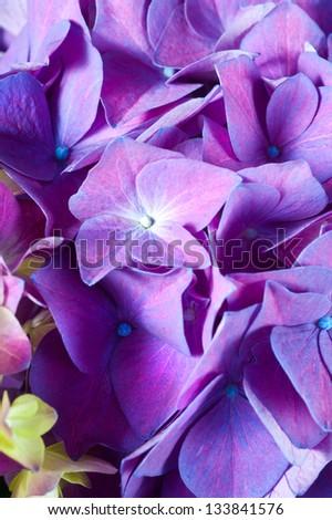 Violet Hydrangea flower. Hydrangea - common names Hydrangea and Hortensia.