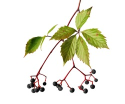 Virginia creeper (Parthenocissus quinquefolia) isolated on white background. Branch with leaves and berries.
