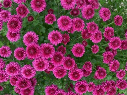 wallpaper with fuchsia chinese chrysanthemums, background with the pink flowers, wallpaper fuchsia pink flowers in good resolution