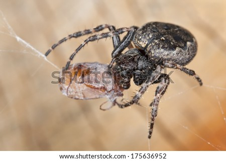 Walnut orb-weaver, Nuctenea umbratica feeding on Brown chafer, Serica brunnea
