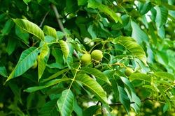 walnut tree, green unripe walnut on a branch, organic walnut plantation