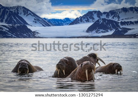 Walrus group in the Blue Ocean, wild animals or land mammals