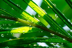 water droplets on leaves. beautiful drops of transparent rain water on a green leaf.