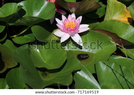 Water lily in small lake in garden of The Benedictine Pannonhalma Archabbey, Hungary  Stock fotó ©