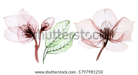 watercolor illustration of transparent flowers. set of transparent Helleborus flowers and leaves isolated on white background. flowers in pastel pink colors. for design of wedding, holiday. patterns  Foto stock ©